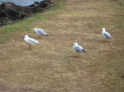 1st Jan 2014 - What The Heck Is That Seagull Looking At?