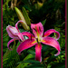 Oriental Lilies by annied