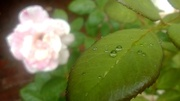 6th Jan 2014 - Rain drops on a rose leaf