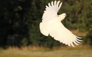 9th Jan 2014 - Sulphur Crested Cockatoo......on a evening joy flight...