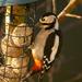 Woodpecker - 9-01 by barrowlane