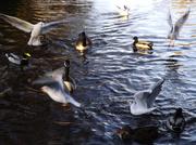 11th Jan 2014 - Poole park wildlife