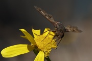 16th Sep 2010 - To Beefly or Not........
