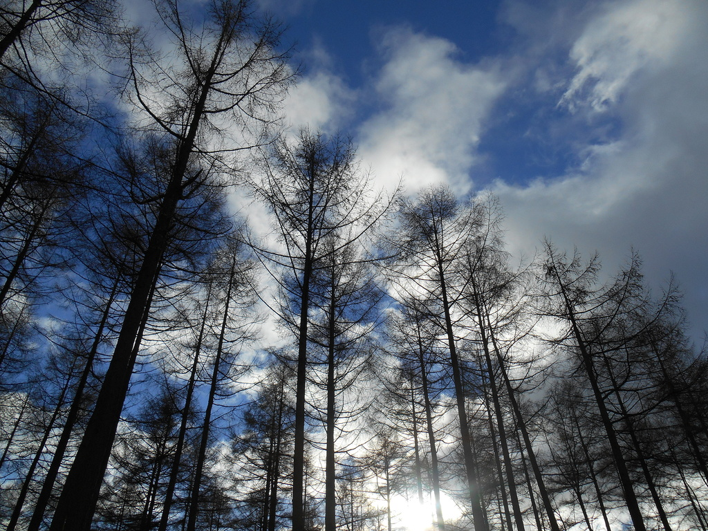 Looking up through the tops of the Larch trees.... by snowy
