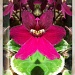 African Violet Pictureshow by robv