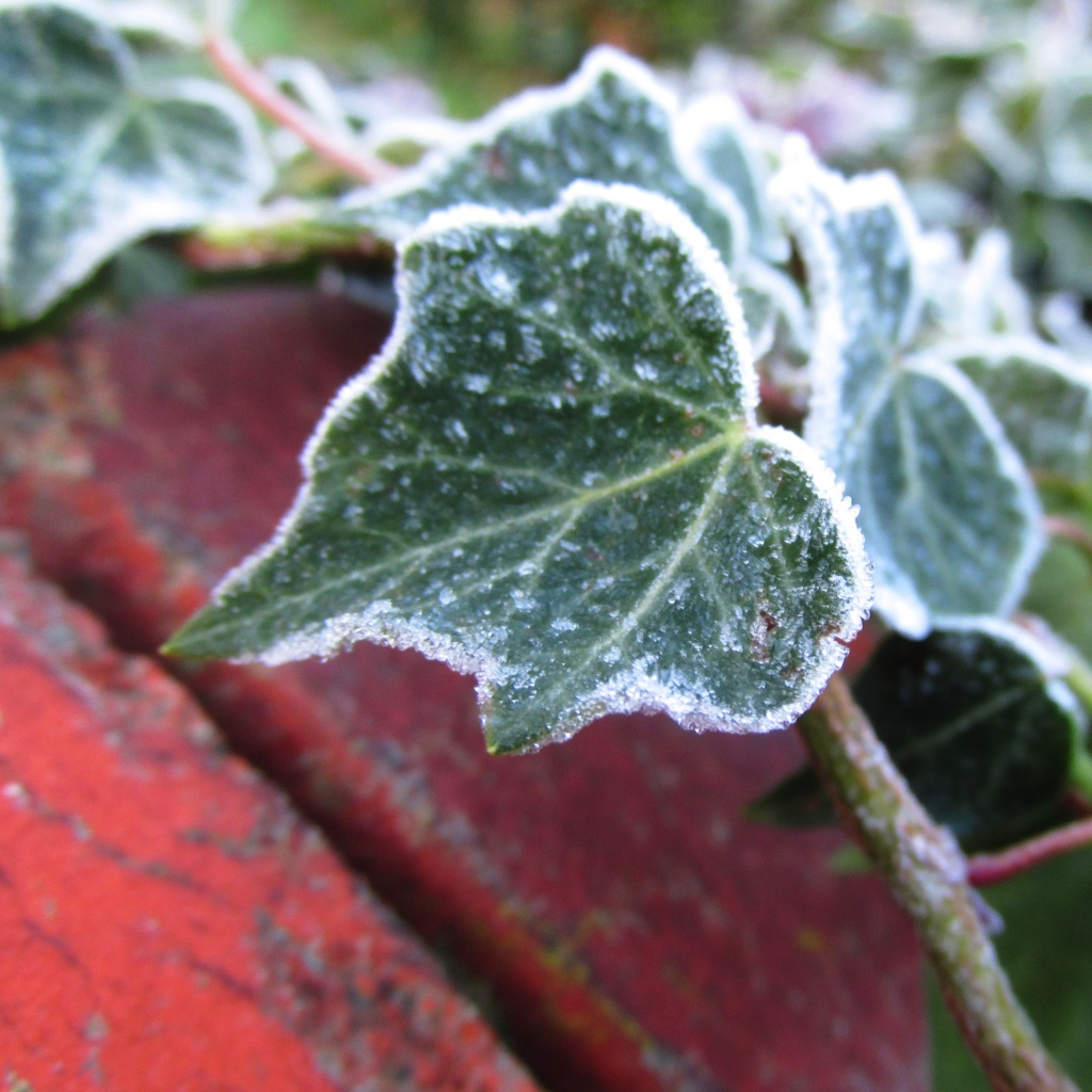 frosted ivy by shannejw