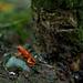 Strawberry Poison Dart-Frog by jyokota