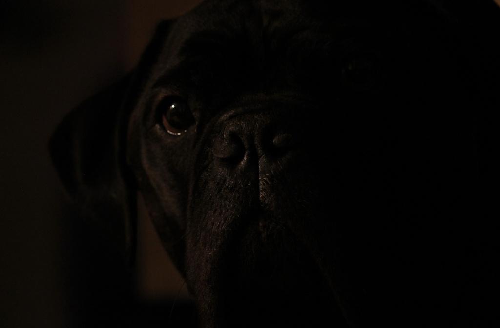 Bullmastiff in Low Key. by jankoos