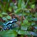 Green and Black Poison Dart Frog by jyokota