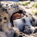 Sleepy Snow Leopard by cdonohoue