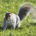 Poser squirrel by bizziebeeme