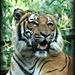 tiger by mjmaven