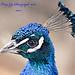 Peacock 200% by tonygig