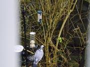 17th Jan 2014 - Wildlife in front garden