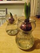 18th Jan 2014 - hyacinths
