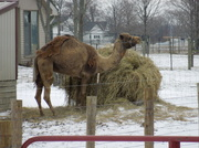 18th Jan 2014 - What, have you never seen a Camel in the snow before?
