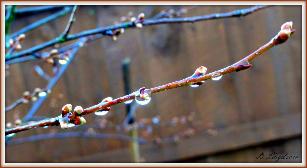 Rain drops and buds  by beryl