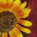 Sunflower by maggie2