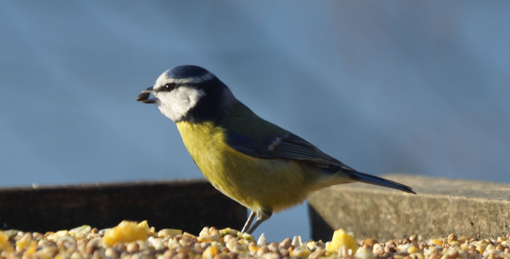 Blue Tit by pcoulson