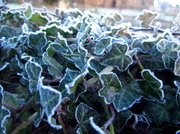 20th Jan 2014 - Frosted Ivy