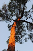 """26th Jan 2014 - The"""" Old Gum Tree""""....enjoys it's fleeting moment of fame..."""
