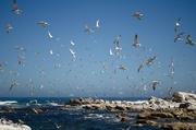26th Jan 2014 - Flock of Seagulls