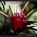 Mountain Devil - Lambertia formosa by annied