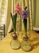 30th Jan 2014 - look how much my hyacinth has grown