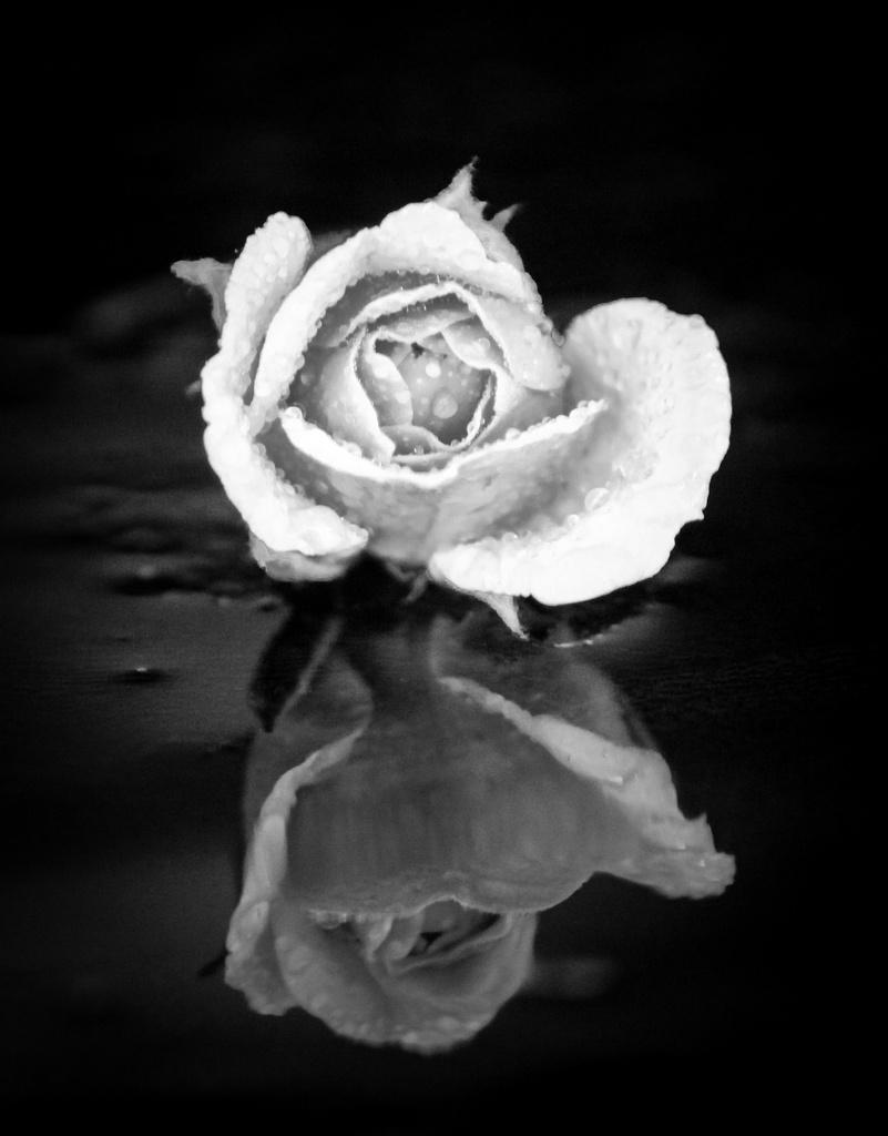 Rose reflection by flyrobin