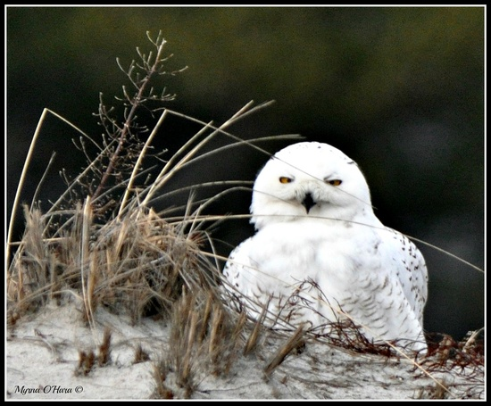 Snowy owl in the beach dunes - West Dennis Beach, Cape Cod, MA by sailingmusic