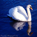 Swan On Blue Water by tonygig