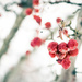 Winter Rubies by lisabell