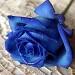 Rosa azul by rodagostinho