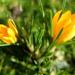 sending you sunny yellow crocuses..... by quietpurplehaze