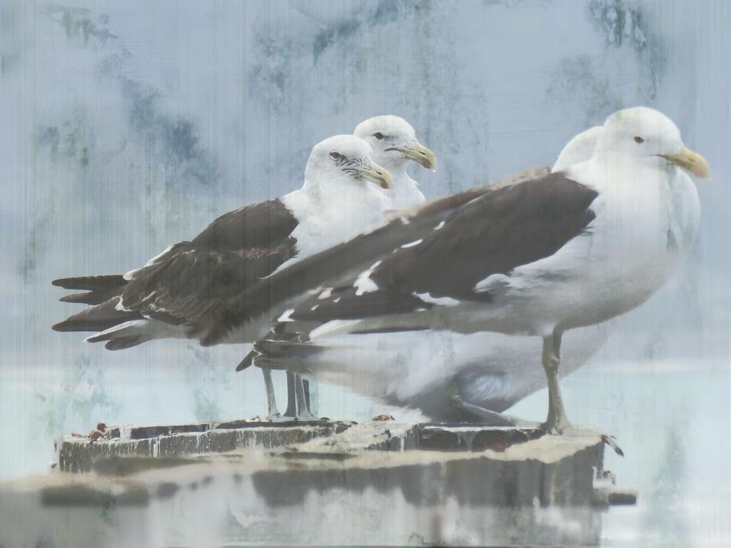 Black-backed gulls by kiwiflora