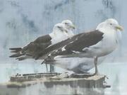 6th Feb 2014 - Black-backed gulls