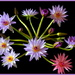 Water lilies by dide