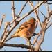 Male chaffinch by rosiekind