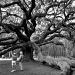 Angel Oak by stownsend