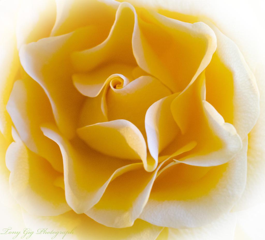 Yellow & White by tonygig