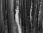9th Feb 2014 - Magical Light In the Cedars in Black and White