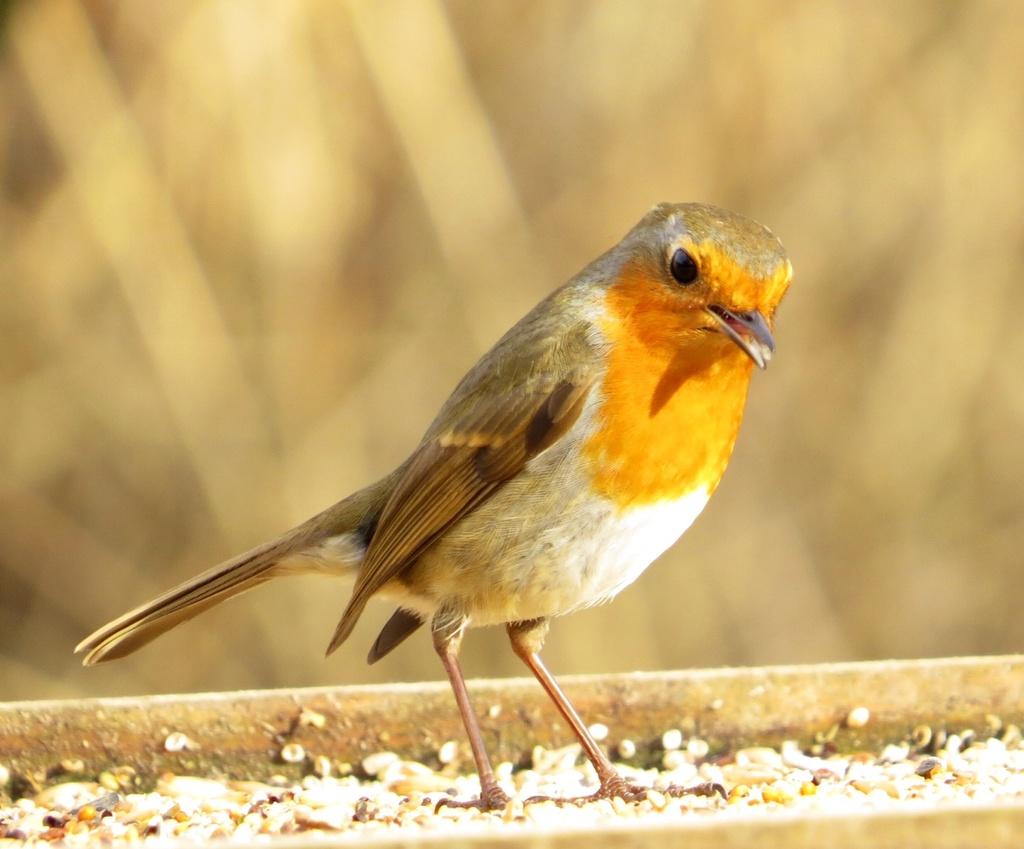 Cheeky Robin! by chris17