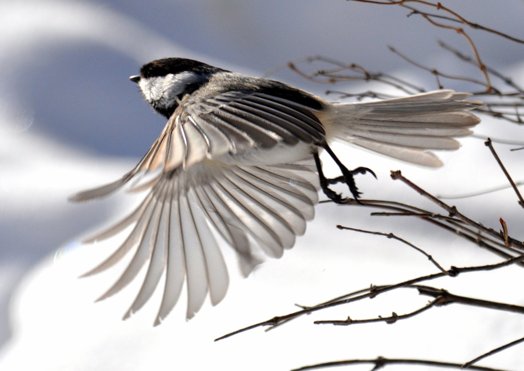 black-capped chickadee  by mjalkotzy