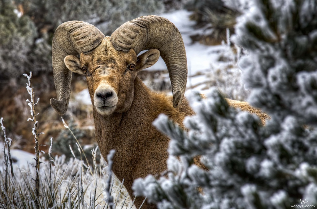 Rocky Mountain Bighorn Sheep in Colorado by exposure4u