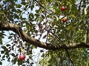 23rd Sep 2010 - Apple Tree