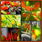 13th Feb 2014 - Chillies - Natures Heat