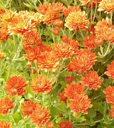 24th Sep 2010 - Orange Flowers