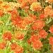 Orange Flowers by julie