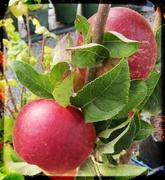 16th Feb 2014 - Apple 'Primo'