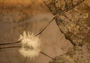 15th Feb 2014 - When a feather leafs the bird.........